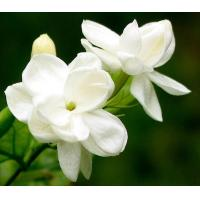 Buy cheap Anti-oxidation 4:1,10:1 natural Jasmine Extract, Jasmine Flower Extract, Jasmine Tea Extract TLC from wholesalers