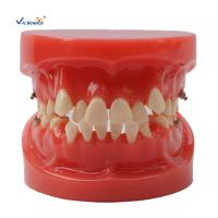 Wholesale Orthodontic Dental Study Models Tooth Teaching , Dental Models For Patient Education from china suppliers