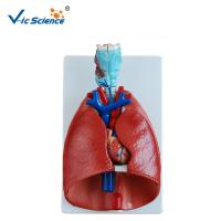 Wholesale Teaching Human Anatomical Model Larynx Heart And Lung Model  VIC-320 from china suppliers