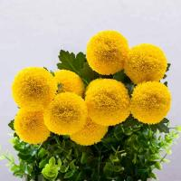 Buy cheap Colorful Fresh Cut Chrysanthemum from the China Farm with wholesale price on sale from wholesalers