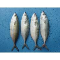 Wholesale Indian Mackerel from china suppliers
