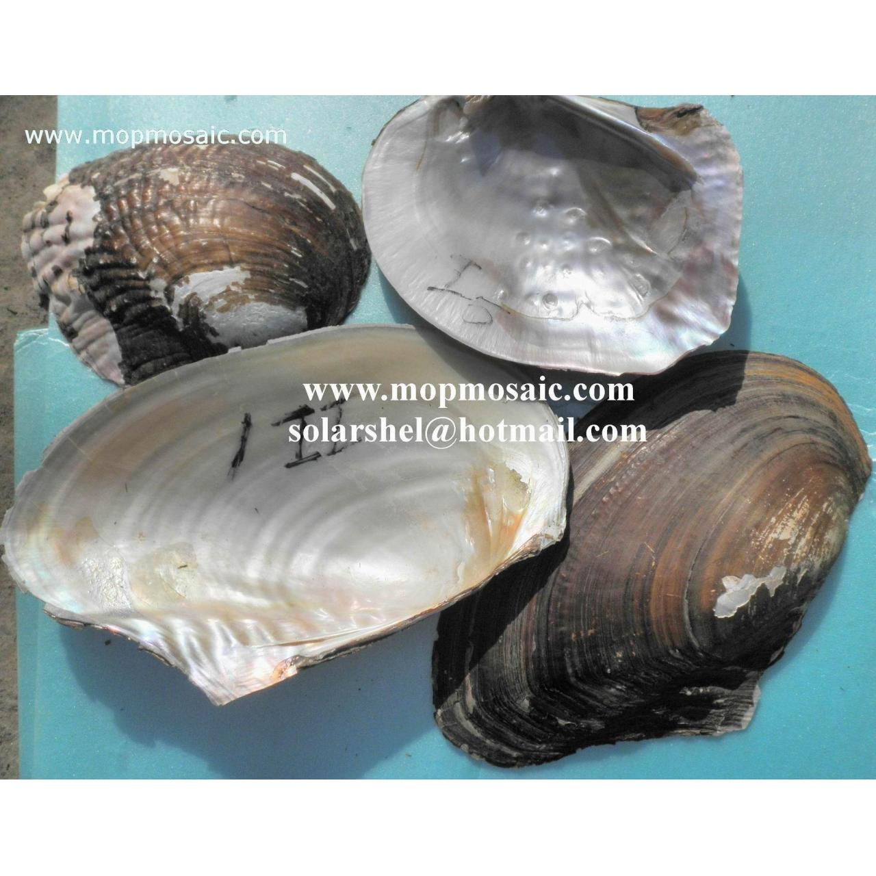 Wholesale River Shell,Triangle Shell from china suppliers