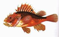 Wholesale scorpion fish from china suppliers