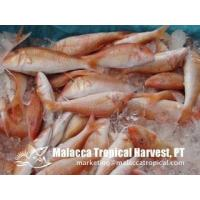 Wholesale Red Mullet from china suppliers