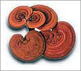 Wholesale Reishi Mushroom P. E. from china suppliers