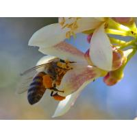 Wholesale What is bee pollen?? from china suppliers