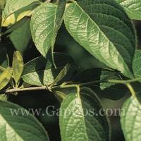 Wholesale High quality Eucommia Ulmoides Extract Pure Chlorogenic Acid from china suppliers