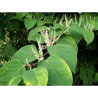 Buy cheap Giant Knotweed Extract product