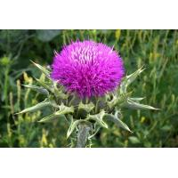 Buy cheap Milk thistle extract product