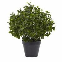 Buy cheap 23 Peperomia Plant UV Resistant (Indoor/Outdoor) from wholesalers