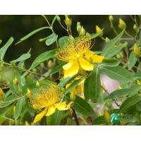 St John's wort Extract Manufactures