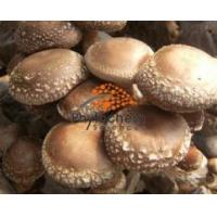 Buy cheap Shiitake Mushroom Extract from wholesalers