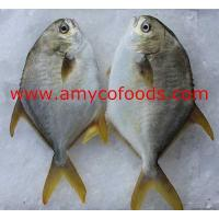 Wholesale Golden Pompano from china suppliers