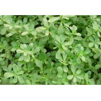 Wholesale Portulaca oleracea e from china suppliers