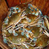 Wholesale MD Blue Crabs from china suppliers