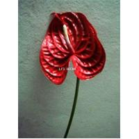Buy cheap Anthurium from wholesalers