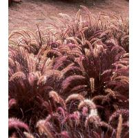 Buy cheap Graceful Grasses Red Riding Hood from wholesalers