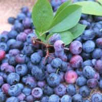 ISO&GMP Chinese Bilberry P.E(1-25% Anthocyanidins)