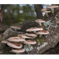 Wholesale Shiitake Mushroom Extract from china suppliers