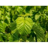 Buy cheap Mulberry Leaf Extract from wholesalers