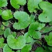 Buy cheap GMP Manufacturer Pure Natural Hydrocotyle Asiatica Extract/Asiaticoside from wholesalers