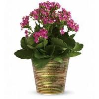 Buy cheap Simply Happy Kalanchoe Plant by Teleflora [T14G110A] from wholesalers