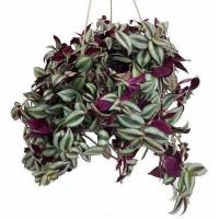Buy cheap Purple Wandering Jew - Easy to Grow House Plant - Inch Plant - 6 Hanging Pot from wholesalers