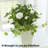Buy cheap Rose & Ivy Sympathy Arrangement from wholesalers