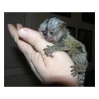 Wholesale Pygmy Marmoset Babies. sms/call(832) 940-7995 from china suppliers