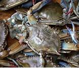 Wholesale Zhoushan swimming crab from china suppliers