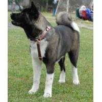 Wholesale Akita Inu Multifunctional Leather Dog Harness from china suppliers