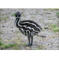 Wholesale Emu Grower Feed from china suppliers