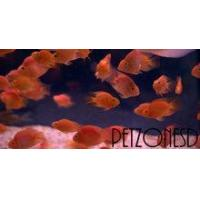 Buy cheap Flowerhorns Blood Parrot (Red Parrot) Cichlid from wholesalers