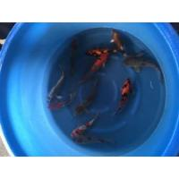 Buy cheap Koi For Sale 200608 from wholesalers