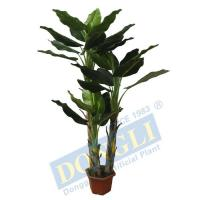 Indoor Mini King Banana House Plant 29LVS Environmentally Ornamental Decoration Tree Manufactures