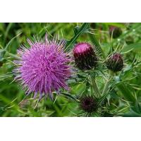 Buy cheap Milk Thistle Extract from wholesalers