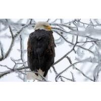 Buy cheap Animals Hd Eagle from wholesalers
