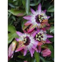 Buy cheap Botanical Extracts PassionFlowerExtract from wholesalers