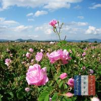 Buy cheap essential oils products Bulgarian Rose Organic Essential Oil from wholesalers