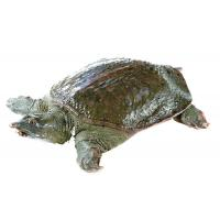 Wholesale Soft-shelled turtle from china suppliers