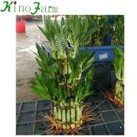 Buy cheap Lucky Bamboo Tower Lucky Bamboo Plants For Sale from wholesalers