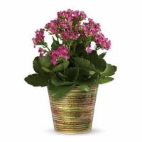 Buy cheap Simply Happy Kalanchoe Plant from wholesalers